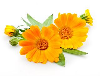 فوائد نبات الآذريون و طريقة زراعته و اكثاره