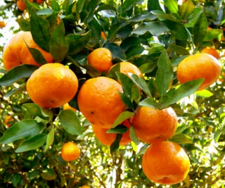 Resultado de imagen para arbol de mandarinas