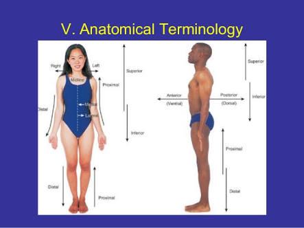 Anatomical Terminologies - UoB Pharmacy