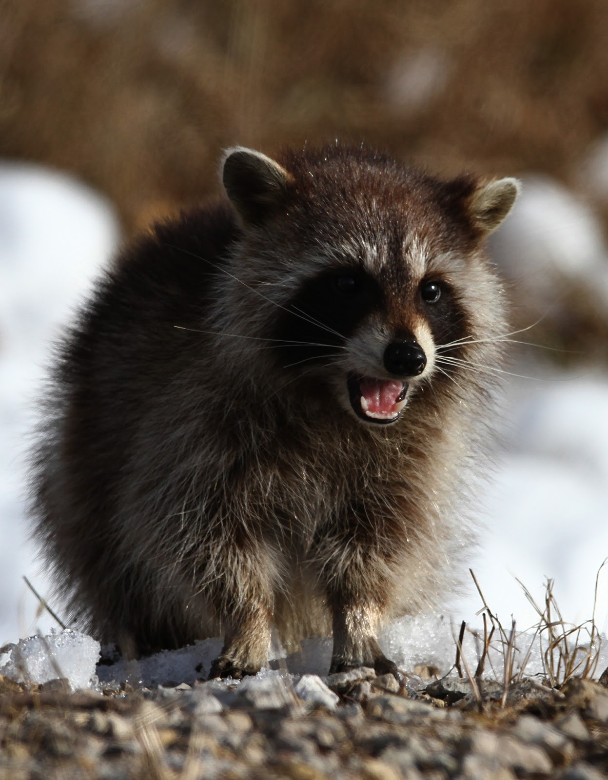 Hannibal S Animals Raccoon Youngsters Foraging