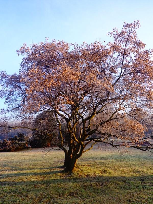 Bardzo dobryFantastyczny Klon ozdobny zimą! | drzewaikrzewy FV74