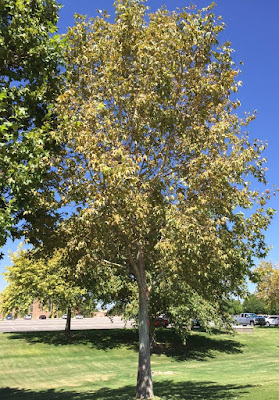 A sycamore tree with yellow leaves