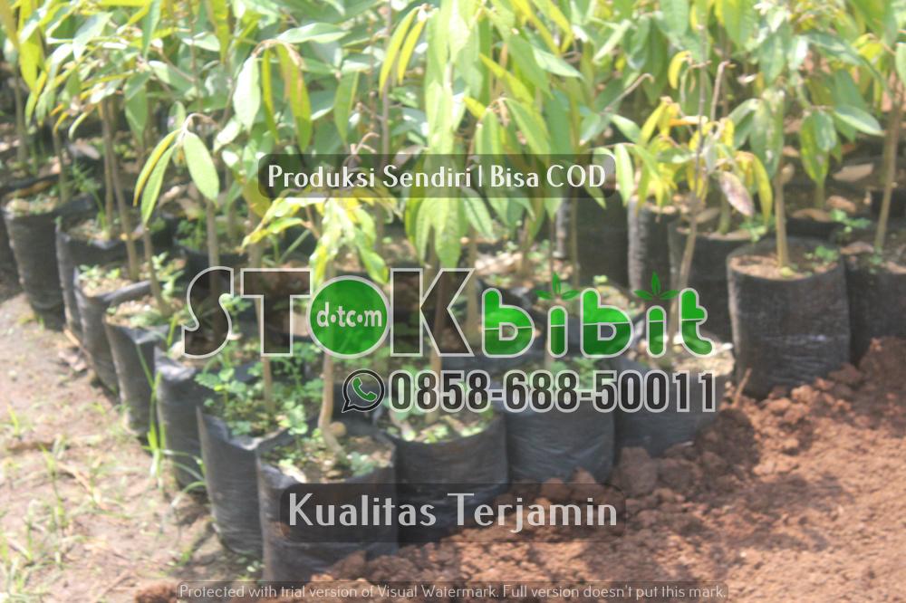 Budidaya sukun dengan cara stek akar    terjamin     terjamin