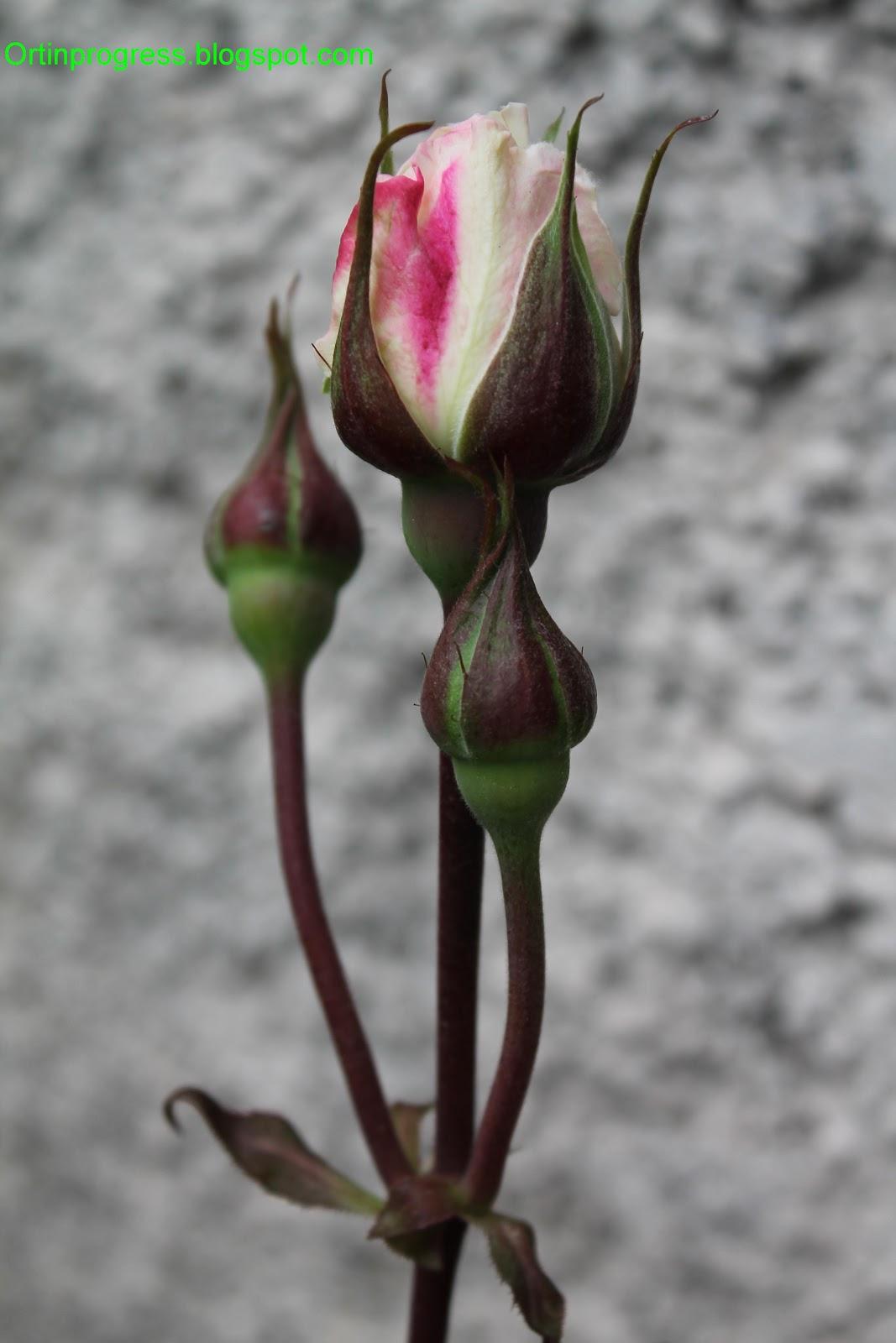 Combattere Afidi Delle Rose orti in progress: rimedi naturali per curare le rose