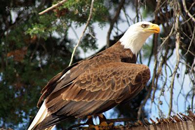 Águila calva - Día de las Aves 2017