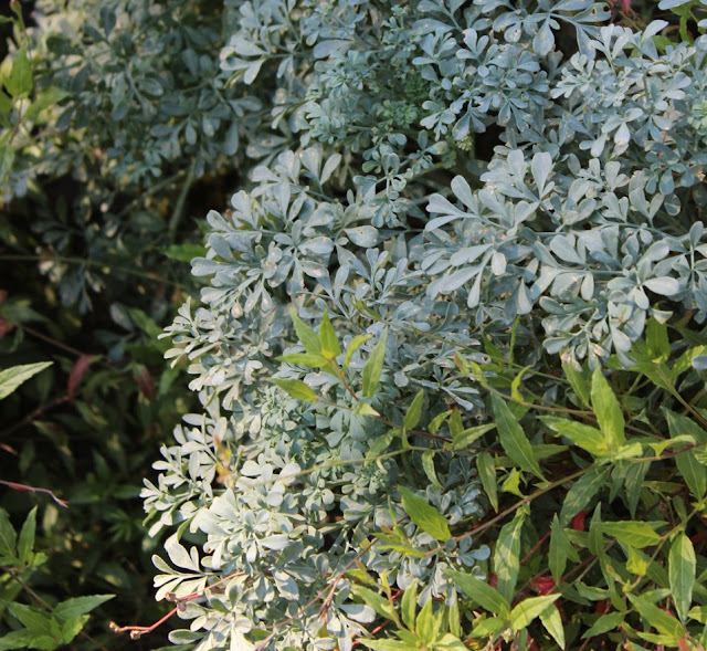 ruta graveolens, virnantul, planta autohtona, frunze albastre, flori galbene, gradina aromatice, peisagistica.