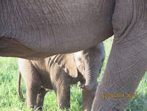 Mama Elephant and Baby very close up