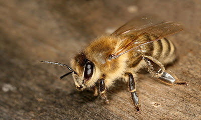 """Apis mellifera carnica worker hive entrance 3"" by Richard Bartz, Munich Makro Freak & Beemaster Hubert Seibring, Munich which gave me advice and a protection suite ;) My dog caught 6 bee-stings on the nose, i caught 4. - Eigen werk. Licensed under CC BY-SA 2.5 via Wikimedia Commons - https://commons.wikimedia.org/wiki/File:Apis_mellifera_carnica_worker_hive_entrance_3.jpg#/media/File:Apis_mellifera_carnica_worker_hive_entrance_3.jp"