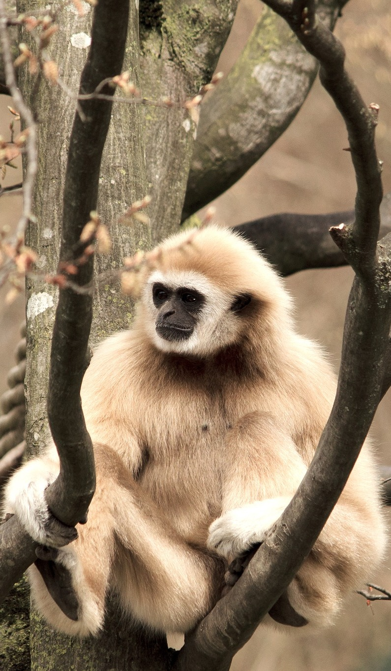 Picture of a gibbon.