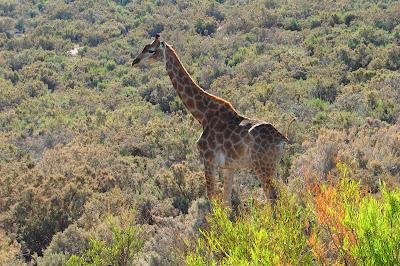 Giraffen, Zürafalar, Jirafas, girafes, kameelperde, gjirafat, Jirafak, giraffer, giraffes, Kaelkirjakud, kirahveja, καμηλοπαρδάλεις, gíraffa, žirafes, Žirafos,
