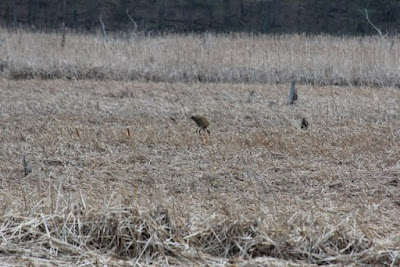 one, or two, sandhill cranes plus a tree stump in marsh grass
