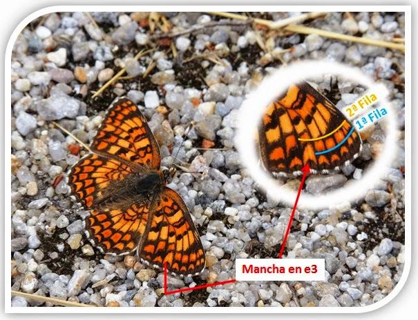 Detalle del ala de Melitaea phoebe