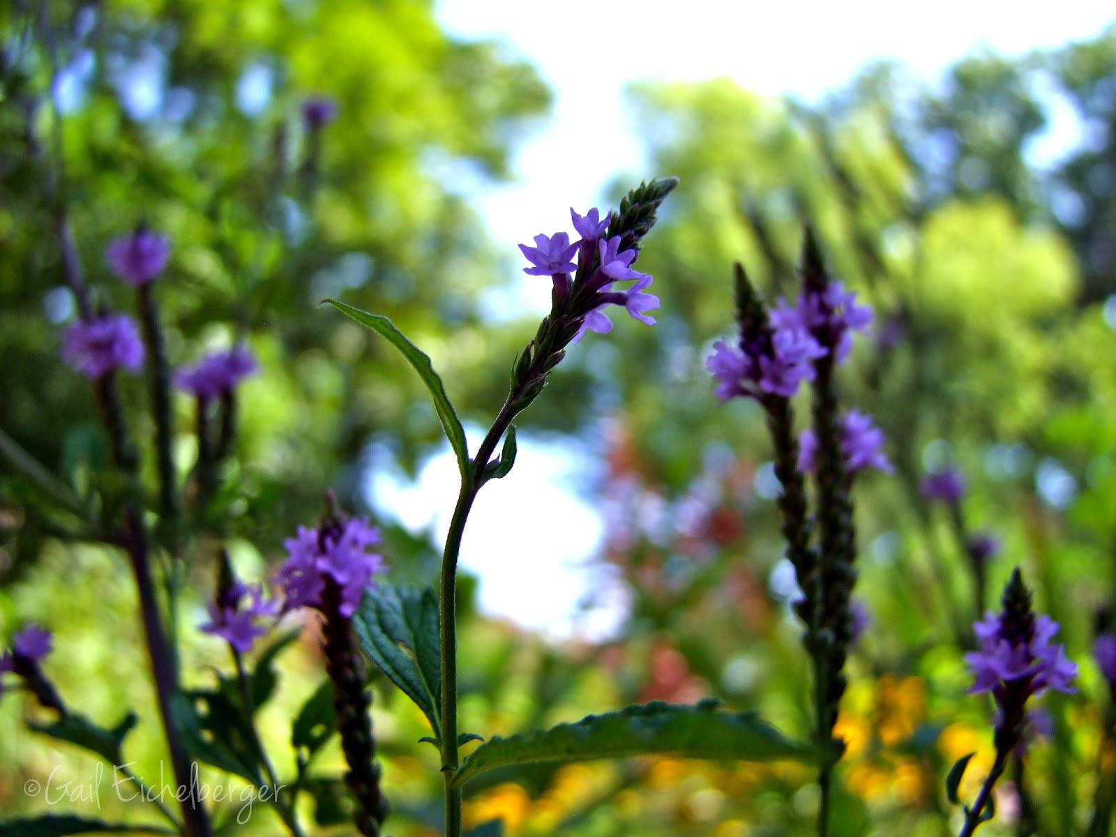 Clay And Limestone Wildflower Wednesday Two Native Verbenas