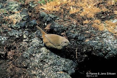 Ratona malvinera Troglodytes cobbi