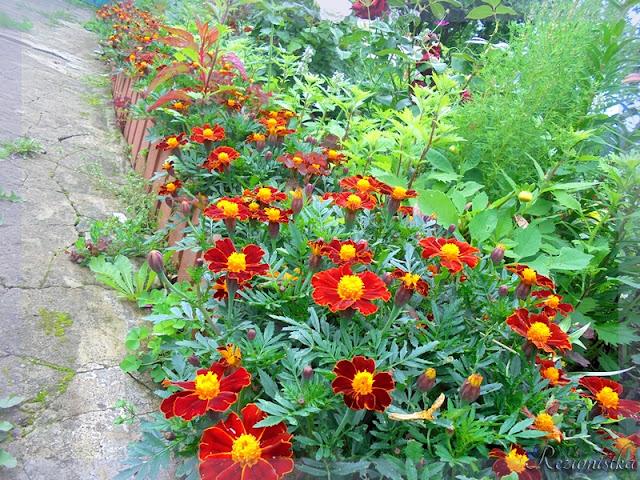 бархатцы в моём саду