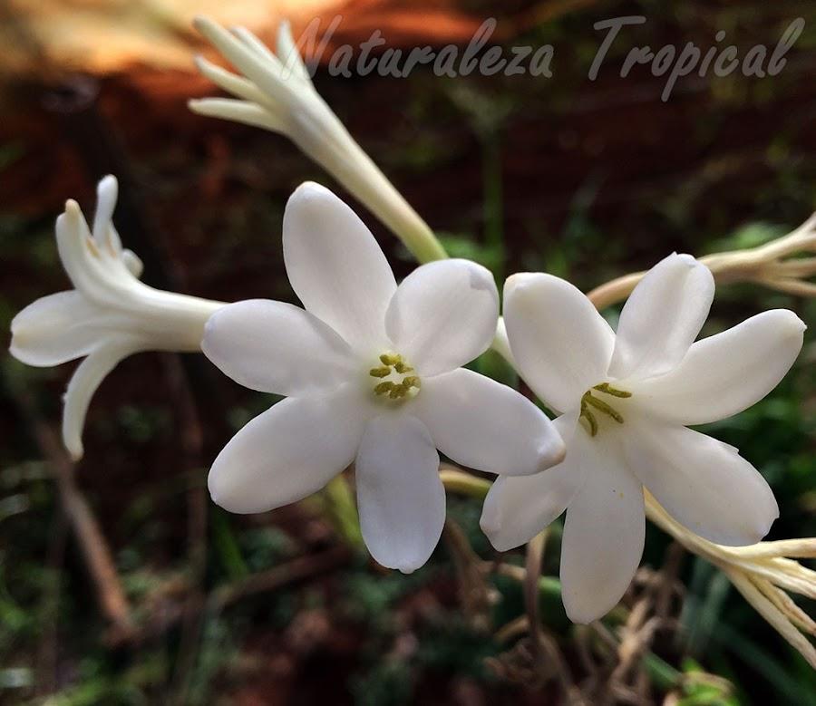 Detalles de las flores de la planta ornamental Vara de San José, Polianthes tuberosa