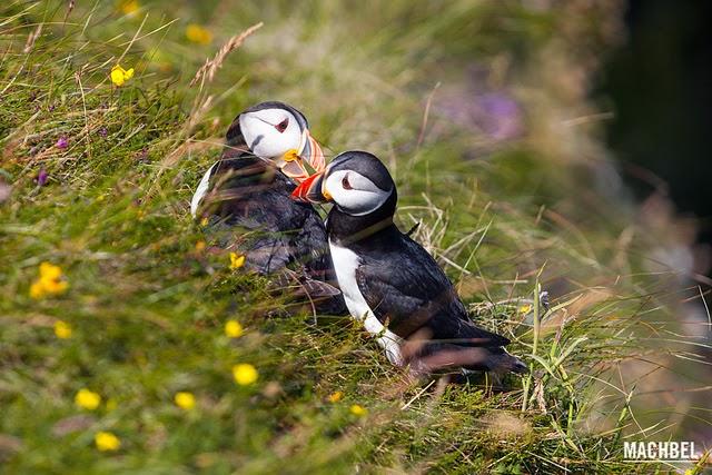 pulcinella mare Skye Scozia