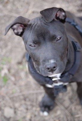Cute Dogs: black and white pitbull terrier