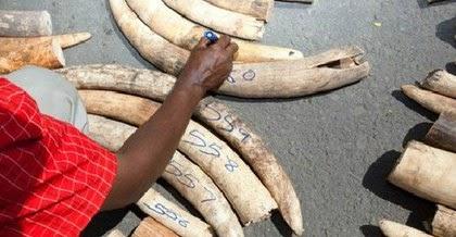 Uganda tịch thu hai tấn ngà voi trị giá triệu USD