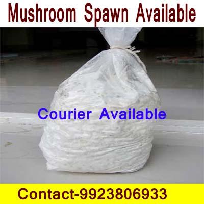 Mushrooms spawn in Sindhudurg and mushroom supplier in
