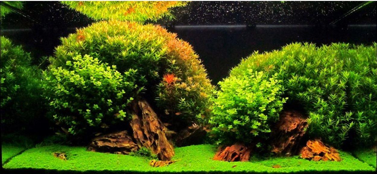 Cây trân châu cao lá tròn phát triển rất tốt trong hồ thủy sinh này