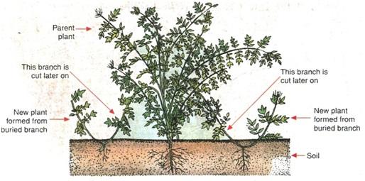 पौधों या वृक्षों के कृत्रिम प्रवर्धन की ग्राफ्टिंग विधि