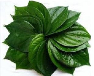 manfaat daun sirih bagi wanita,manfaat daun sirih,manfaat daun sirih merah,daun sirih,khasiat daun sirih untuk wajah,manfaat daun sirih untuk kesehatan,manfaat rebusan daun sirih untuk miss v,khasiat daun sirih,manfaat daun sirih hijau,manfaat daun sirih merah untuk kewanitaan,4 manfaat daun sirih bagi wanita,apa manfaat daun sirih bagi wanita