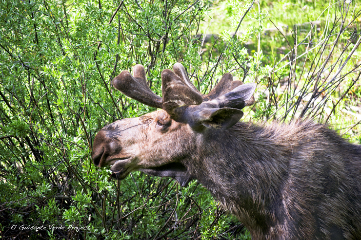 "Moose ""Wilson"" - Grand Teton National Park por El Guisante Verde Project"