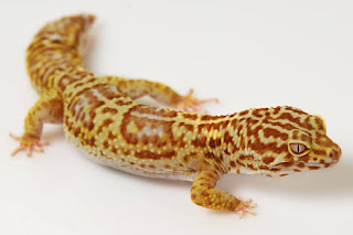 Makanan Gecko yang Baik dan Menyehatkan