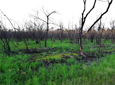 Trees charred in 2011 wildfire on wet ground that is greening again
