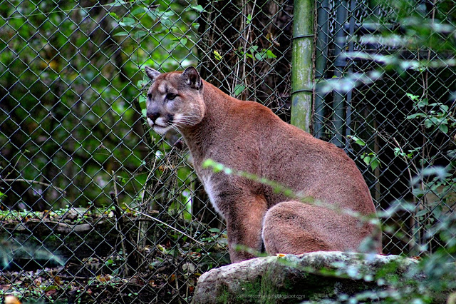 Cougar (C) Rosevine Cottage Girls