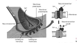 Mekanisme pelepasan neurotransmiter oleh sinapsis.
