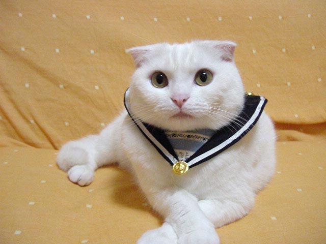 Scottish Fold Cats Pets Cute And Docile
