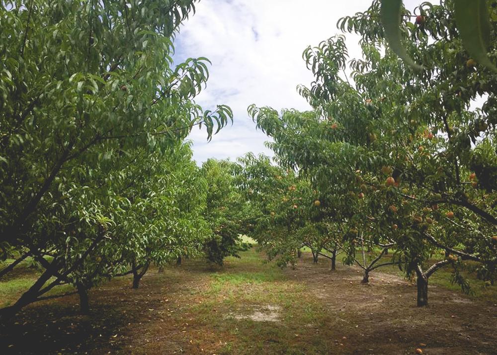 Peach Picking at Greenbrier Farms - Mermaid City Kids