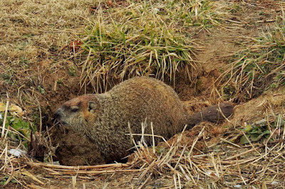 Ultrasonic Groundhogs?