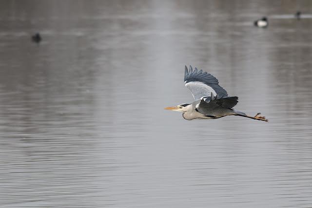 Grey Heron in Flight (3)