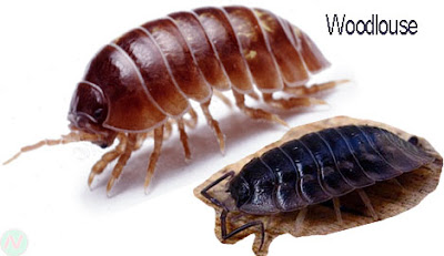 Woodlouse insect