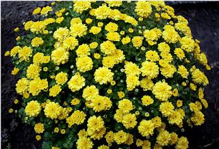 сорта-хризантем