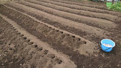 真ん中エリアでの種ニンニクの植え付け