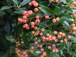 Pyracantha berries #mygardenrightnow Green Fingered Blog