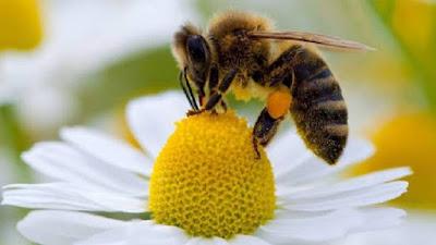 El polen es depositado en una especie de canastillas a los lados de las patas traseras