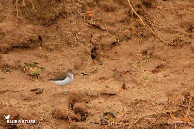 Macho abajo, hembra arriba de ánade azulón (Anas platyrhynchos) en una de las isletas que genera el río.