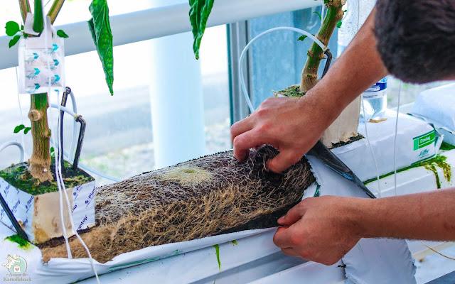 Gemüseanbau im Knoblauchsländer Gewächshaus