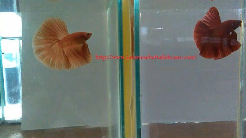 Image Half Moon Betta - Betta fish types