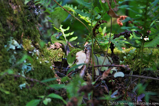 lézard vert juvénile  (Lacerta bilineata) Trois Pignons, (C) 2016 Greg Clouzeau