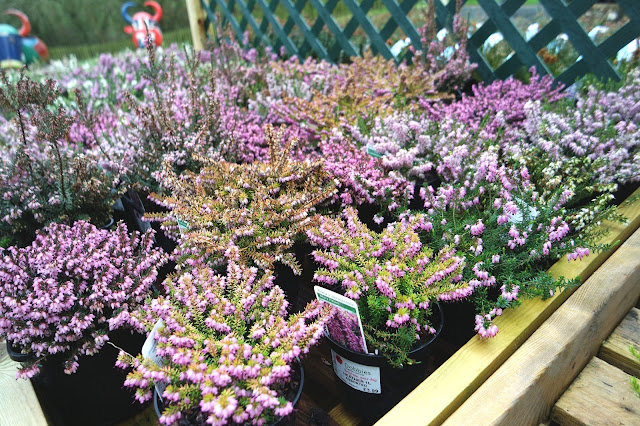 selection of potted heather