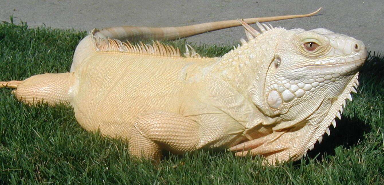 Iguana   A-Z List of 125 Rare Albino Animals [Pics]