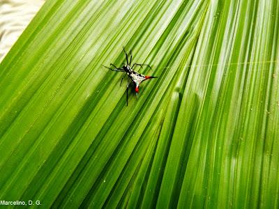 Aranha espinhosa, Micrathena schreibersi, aracnídeos, Aranha, Micrathena, schreibersi, spinnensoort, wielwebspinnen, animais, animal, amazonia, amazon, Brazil, Tocantins, Brasil, spider