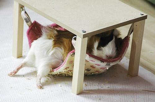 Cavia in een hangmat onder een klein tafeltje