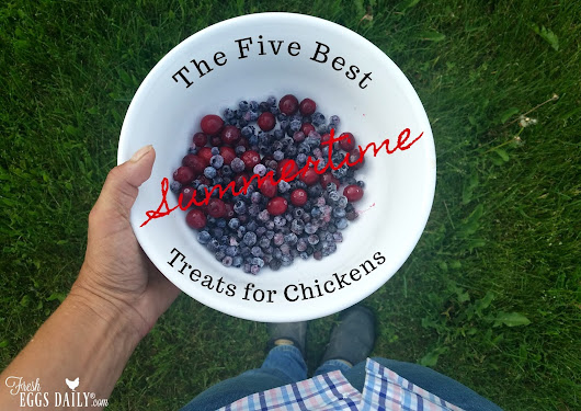 The Five Best Summertime Treats for Chickens